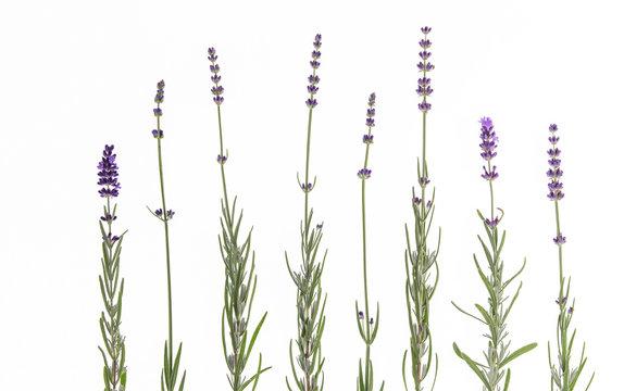Set of lavender flowers elements. Botanical illustration. Collection of lavender flowers on a white background.