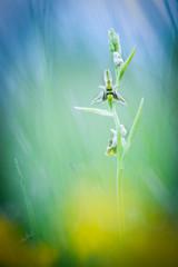 Orchidea spontanea