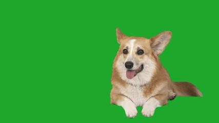 Fototapete - Welsh Corgi dog lies and looks on a green screen