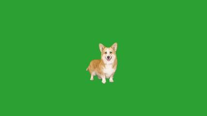 Fototapete - welsh corgi dog stands and looks on a green screen