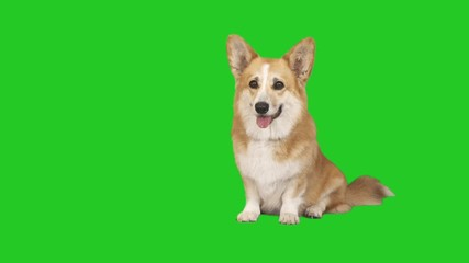 Fototapete - welsh corgi dog yawns on green screen
