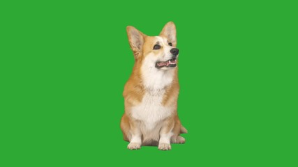 Fototapete - welsh corgi dog sniffs the air and looks carefully at the green screen