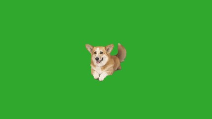 Fototapete - dog is waving its tail. funny welsh corgi lies and looks on a green screen