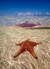 Sea star st Starfish Point, North Side, Grand Cayman, Cayman Islands