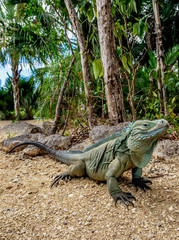 Blue iguana (Cyclura lewisi), Queen Elizabeth II Botanic Park, North Side, Grand Cayman, Cayman Islands