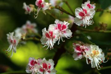 Horse Chestnut - Aesculus hippocastanum Closeup of flowers