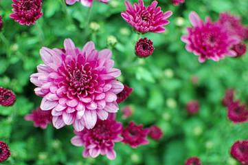Photo sur Plexiglas Dahlia Close-up Of Pink Dahlia Blooming Outdoors