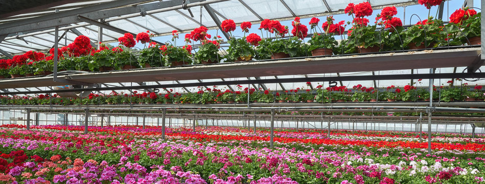 glass house with geranium plantation