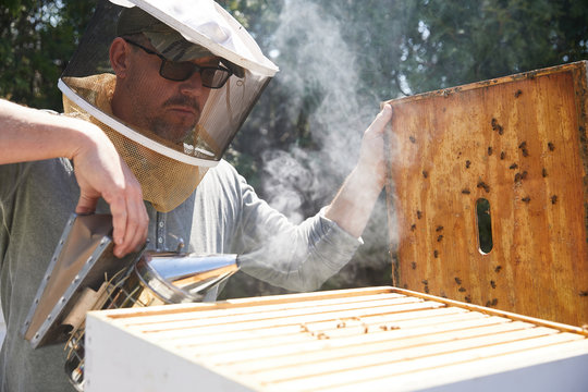 An urban beekeeper inspects his hive of bees to see if they are taking to the new queen bee that was introduced