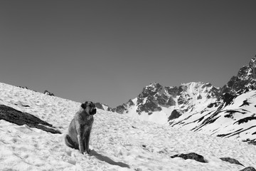 Wall Mural - Dog sitting in snow at sunny day and snowy mountains