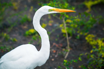 Profile portrait of the great egret
