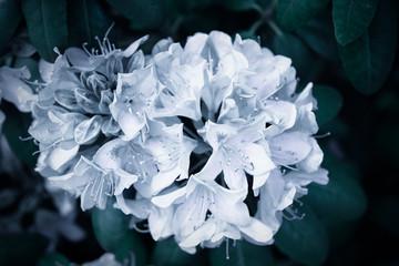 Azalea flowers in the garden