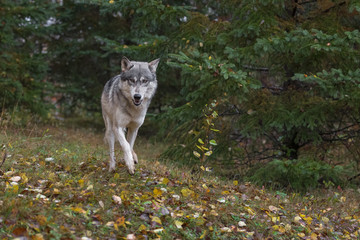 Wall Mural - Grey Wolf (Canis lupus) Runs Forward Out of Woods Autumn