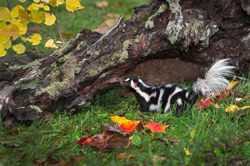 Wall Mural - Eastern Spotted Skunk (Spilogale putorius) Looks Left From Beneath Log Autumn