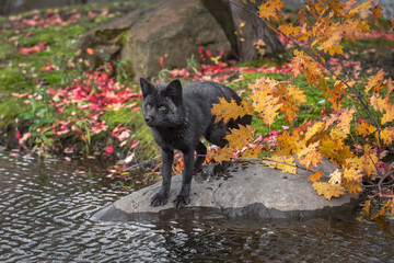 Wall Mural - Silver Fox (Vulpes vulpes) Stands on Rock Front Paws Nearly in Water Autumn
