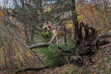 Wall Mural - Grey Wolf (Canis lupus) Walks Out on Root Bundle Autumn