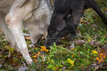 Wall Mural - Black Phase and Grey Wolf (Canis lupus) Come Together in Leaves Autumn