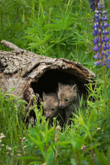 Wall Mural - Red Fox (Vulpes vulpes) Kits Huddle Inside Log Summer
