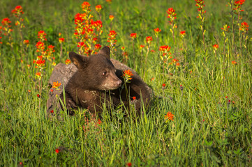 Wall Mural - Black Bear Cub (Ursus americanus) Turns Right to Look at Wildflower Summer