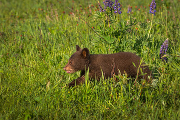 Wall Mural - Black Bear Cub (Ursus americanus) Runs Left Through Field of Grass Summer