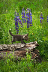 Wall Mural - Red Fox (Vulpes vulpes) Kit Walks on Log Lupin in Background Summer