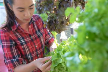 Organic salad plant : Green Oak in white plastic plant pot.