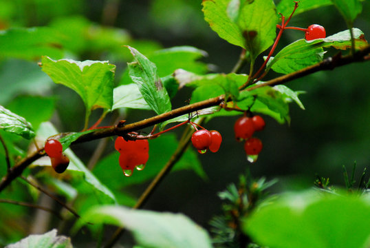 Close-up Of Wet Cherries Growing On Plant