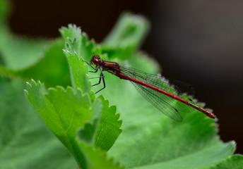 Red ruddy darter dragonfly (Sympetrum sanguineum) on water plant green leaf in garden