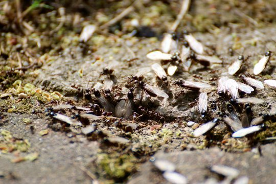 Swarm Of Winged Carpenter Ants On Field