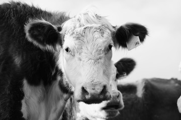 Wall Mural - Hereford cow with ear tag close up looking at camera in black and white.