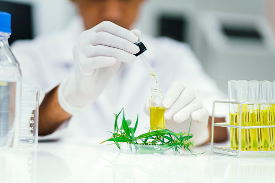 scientist in laboratory testing cbd oil extracted from a marijuana plant.  Healthcare pharmacy from medical cannabis.