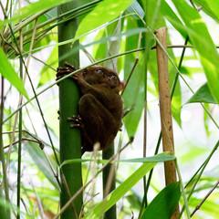 Fototapeten Eichhornchen Tasier sur son bambou avec les yeux ouverts