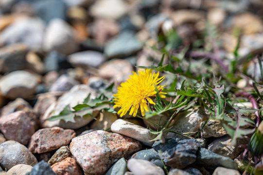 Single dandelion weed growing in decorative rock path