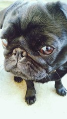 Close-up Of Black Pug Dog