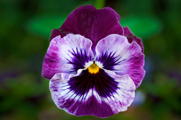 Pansy flower in closeup macro view with detailed purple and white flower face