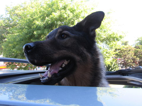 Close-up Of Dog Looking Through Sunroof In Car