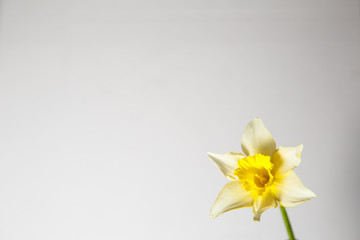 Photo on textile frame Narcissus Yellow daffodil on a white background.
