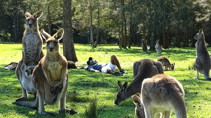 Man Lying By Kangaroos On Grassy Field