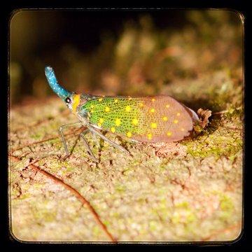 Close-up Of Lantern Bug On Wood