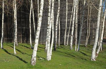 Photo sur Plexiglas Bosquet de bouleaux Bosquet de Bouleaux