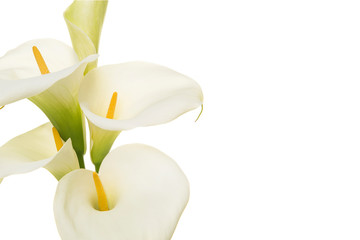 Close-up of a bouquet blooming calla lilly flowers isolated on a white background with copy space