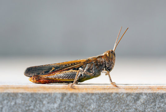 Macro of grasshopper standing on a stone