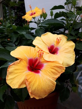 Close-up Of Yellow Hibiscus Blooming Outdoors