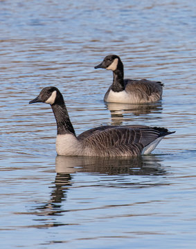 Close up of a pair of Canada Geese on the move at Blue Marsh Lake in Berks County, PA