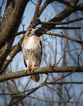 A watchful red-tailed hawk on a branch in Wyomissing Park in Berks County, PA