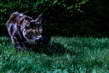 Cat hunts in the night garden. Big maine coon cat stalks the grass in the moonlight. Copy space