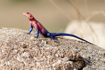 red headed agama on the rock Wall mural