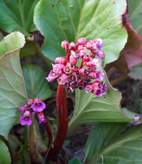 flowers of Bergenia crassifolia, healing plant growing in the garden