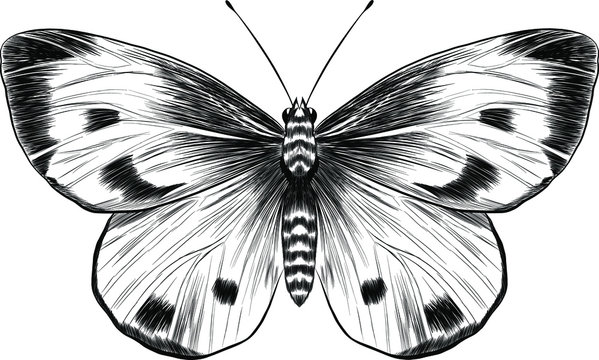 butterfly cabbage black and white vector