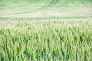 Getreidefeld im Frühsommer beim Reifen als Hintergrund oder Textur